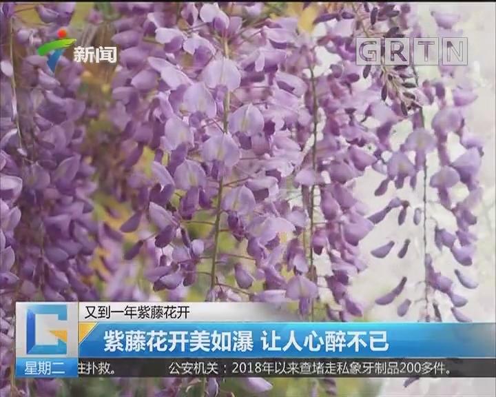 又到一年紫藤花开:紫藤花开美如瀑 让人心醉不已