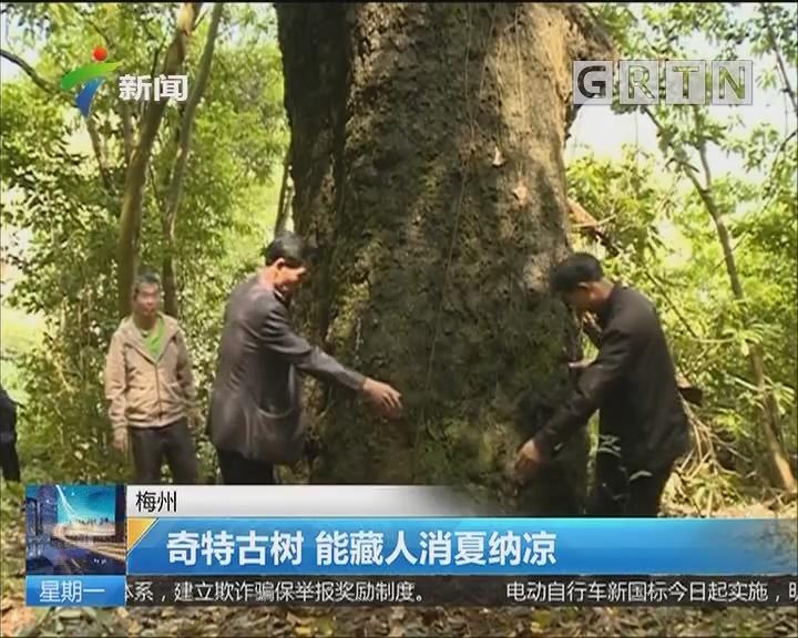梅州:奇特古树 能藏人消夏纳凉