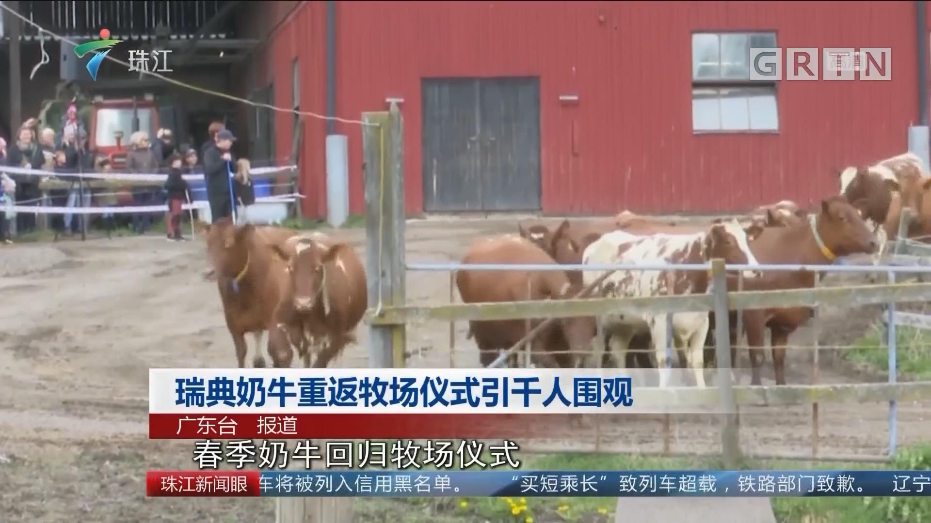 瑞典奶牛重返牧场仪式引千人围观
