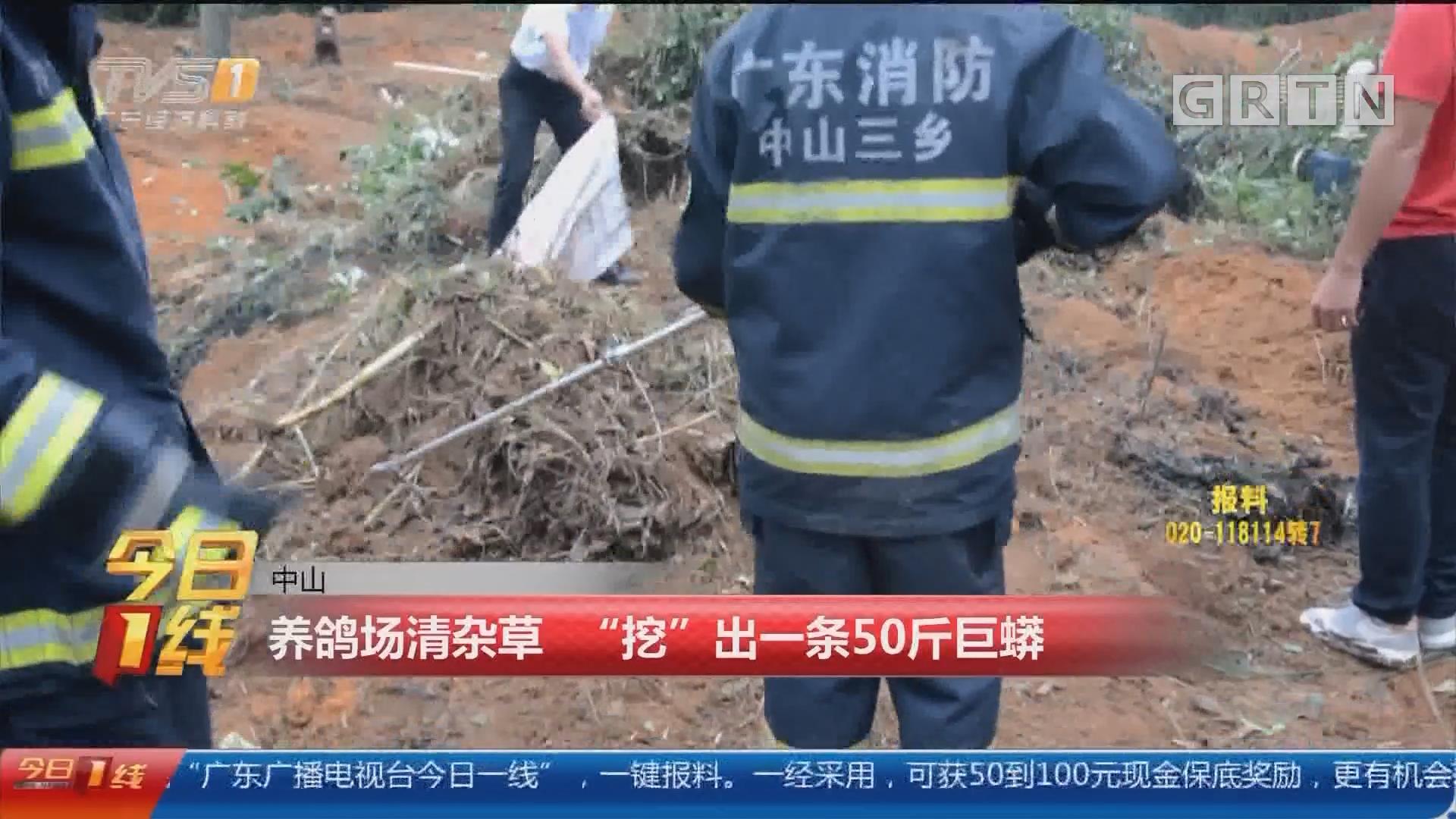 """中山:养鸽场清杂草 """"挖""""出一条50斤巨蟒"""