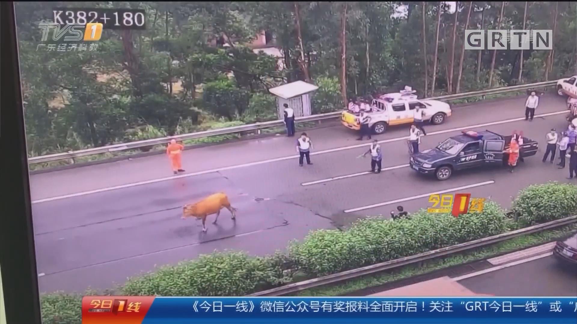东莞:大黄牛高速路上散步 吓坏众司机