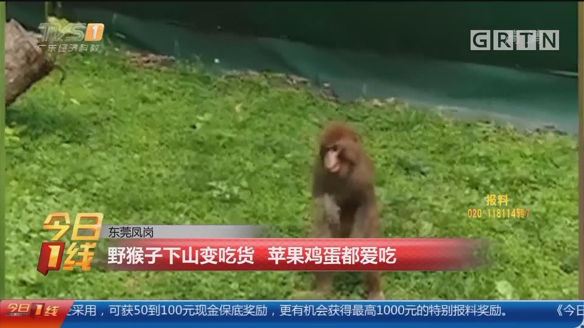 东莞凤岗:野猴子下山变吃货 苹果鸡蛋都爱吃