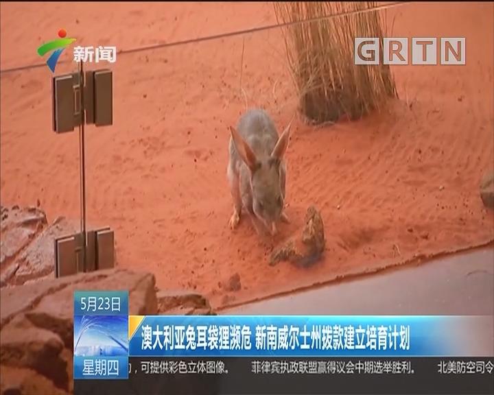 澳大利亚兔耳袋狸濒危 新南威尔士州拨款建立培育计划