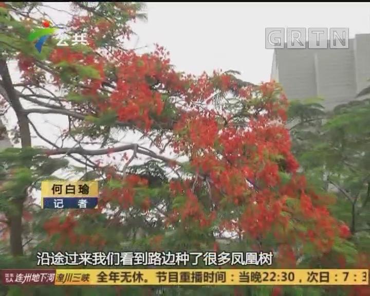 广州:凤凰木开花 市民驻足观赏