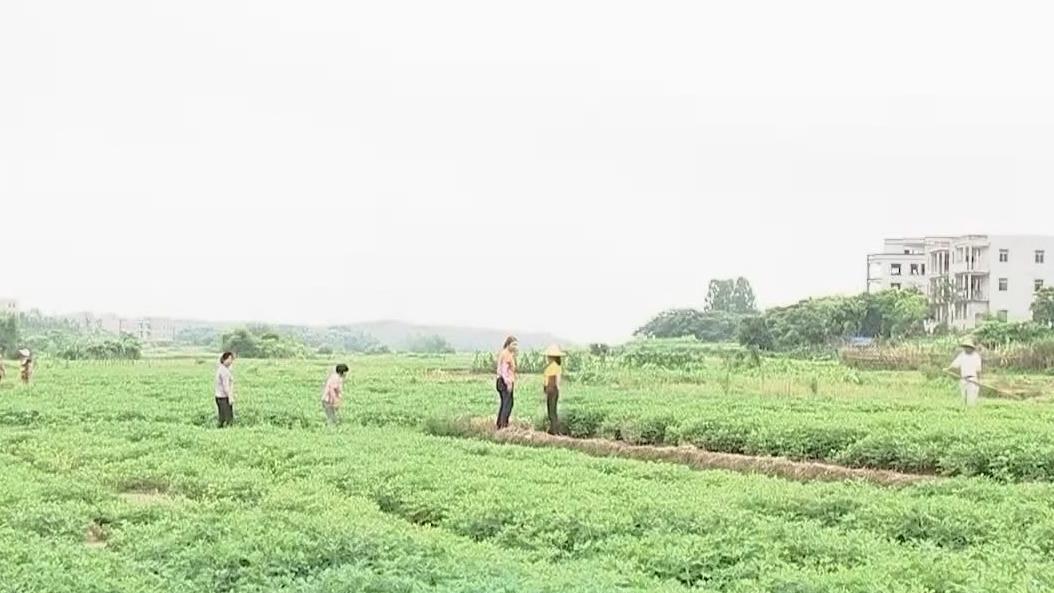 吴川:红蚂蚁出没咬伤人 村民谈蚁色变