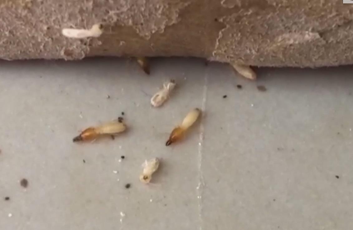 广州天河:成群白蚁来袭 墙体家具都被蛀蚀