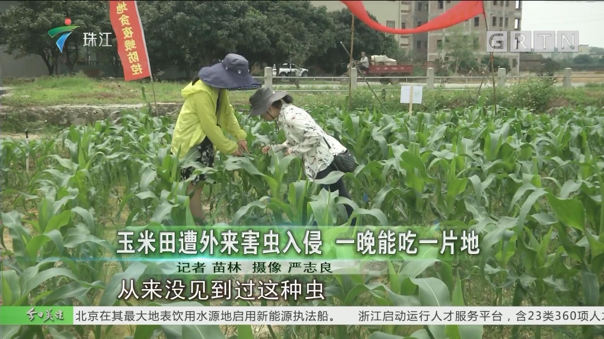 玉米田遭外来害虫入侵 一晚能吃一片地
