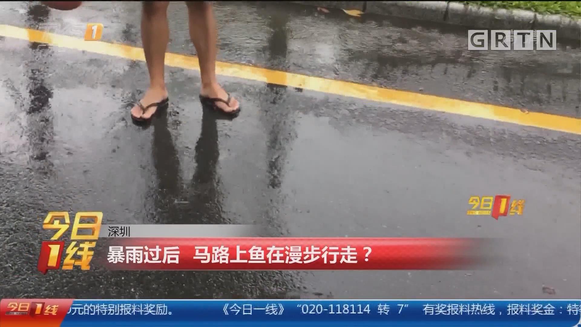 深圳:暴雨过后 马路上鱼在漫步行走?