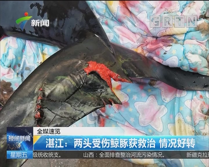 湛江:两头受伤鲸豚获救治 情况好转