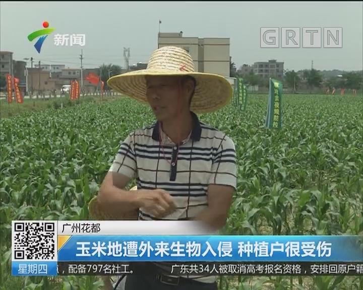 广州花都:玉米地遭外来生物入侵 种植户很受伤