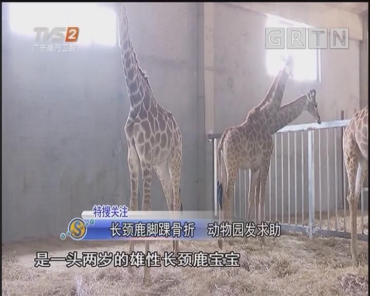 长颈鹿脚踝骨折 动物园发求助