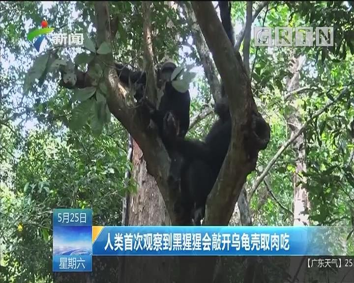 人类首次观察到黑猩猩会敲开乌龟壳取肉吃