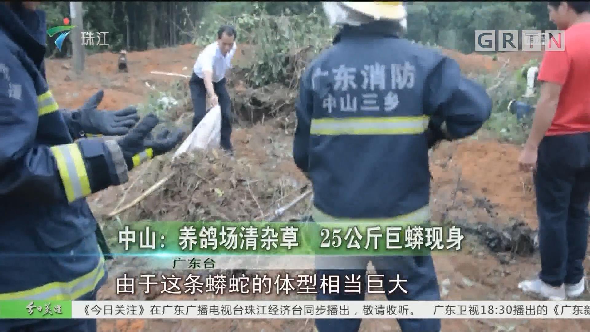 中山:养鸽场清杂草 25公斤巨蟒现身