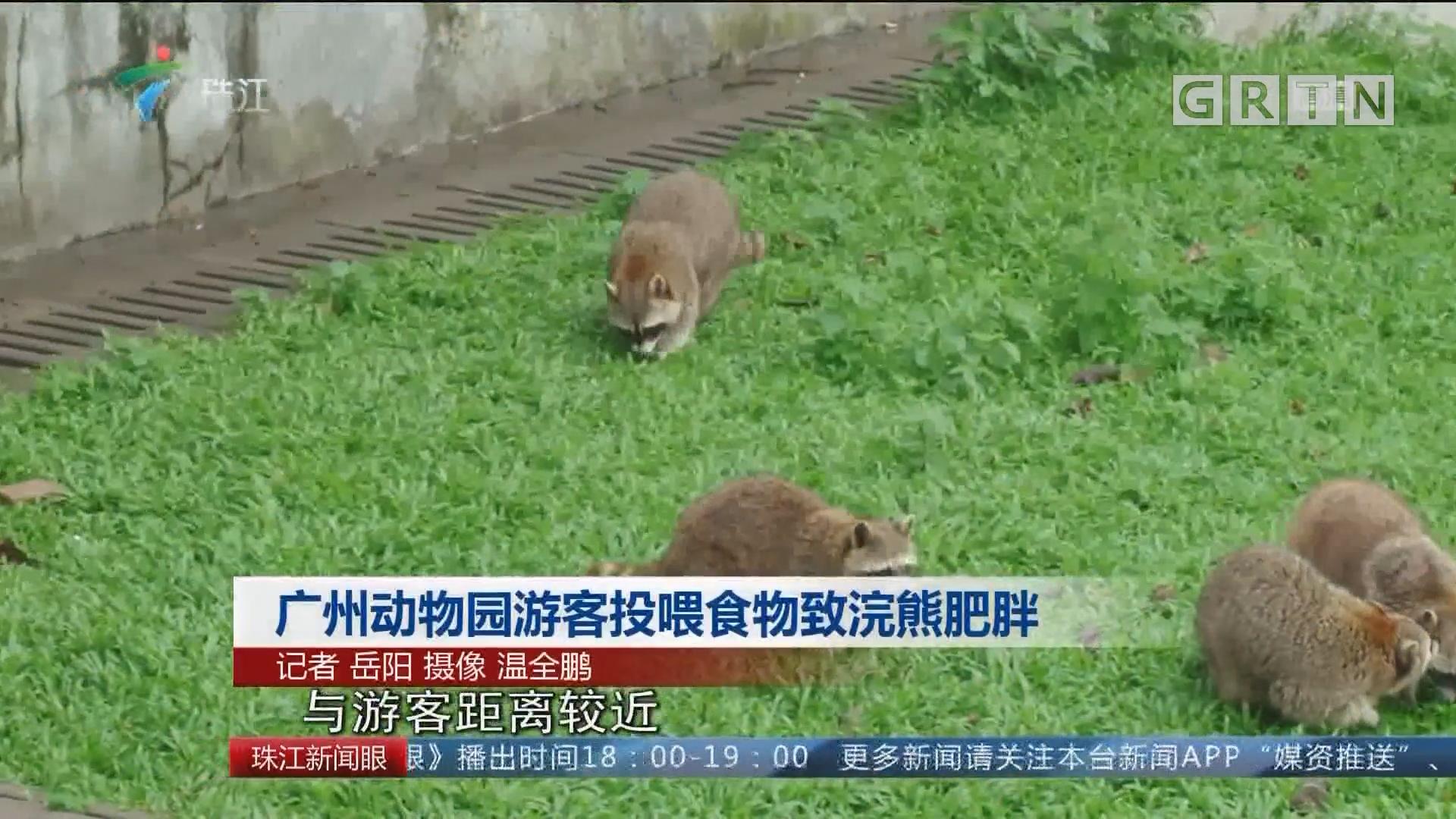 广州动物园游客投喂食物致浣熊肥胖