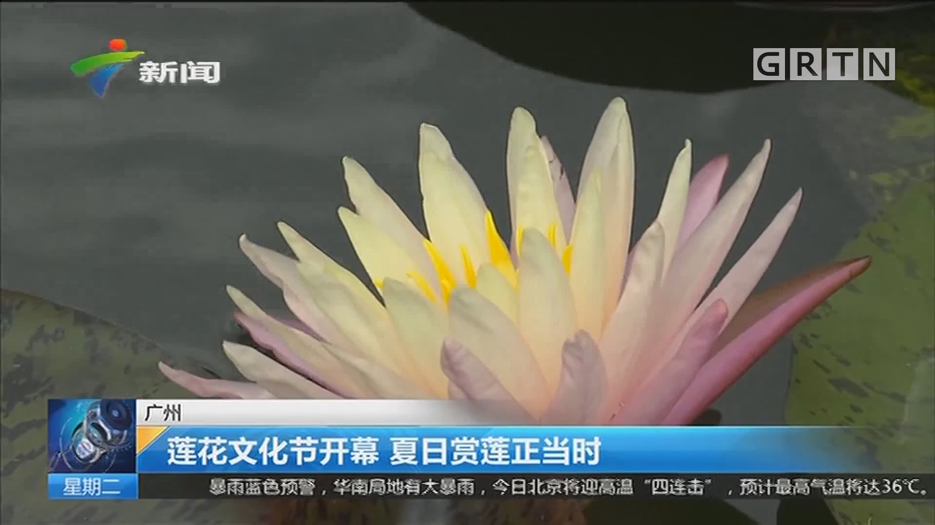 广州:莲花文化节开幕 夏日赏莲正当时