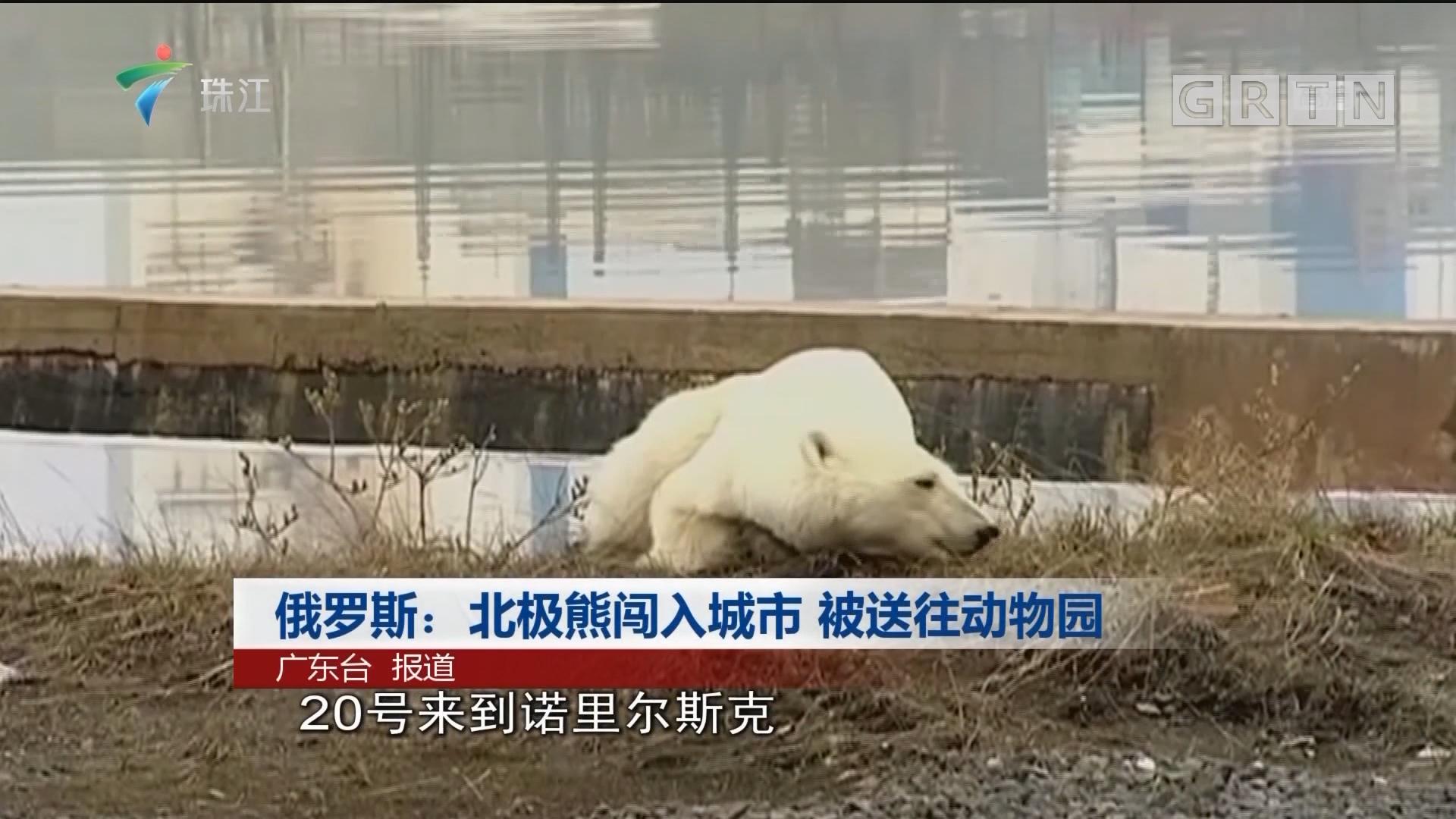 俄罗斯:北极熊闯入城市 被送往动物园