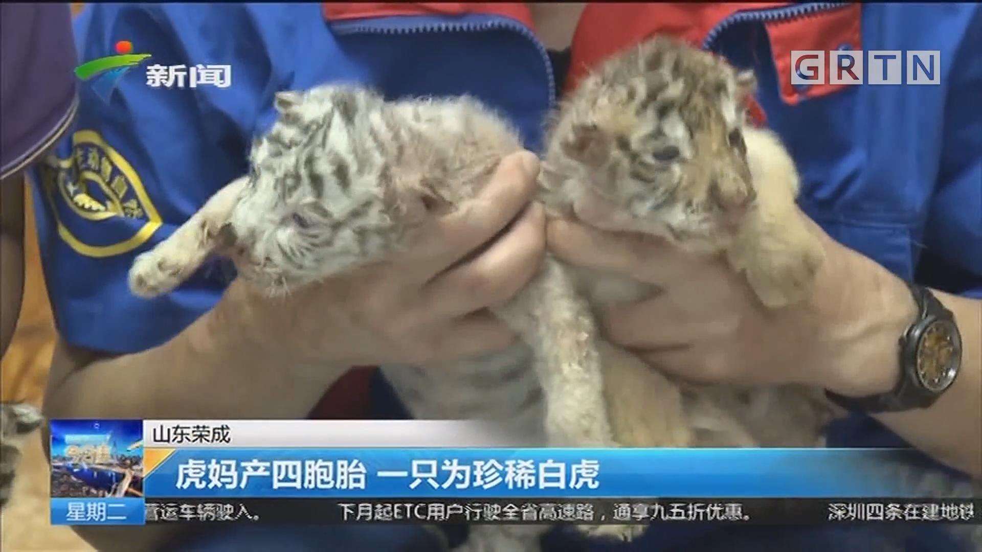 山东荣成:虎妈产四胞胎 一只为珍稀白虎