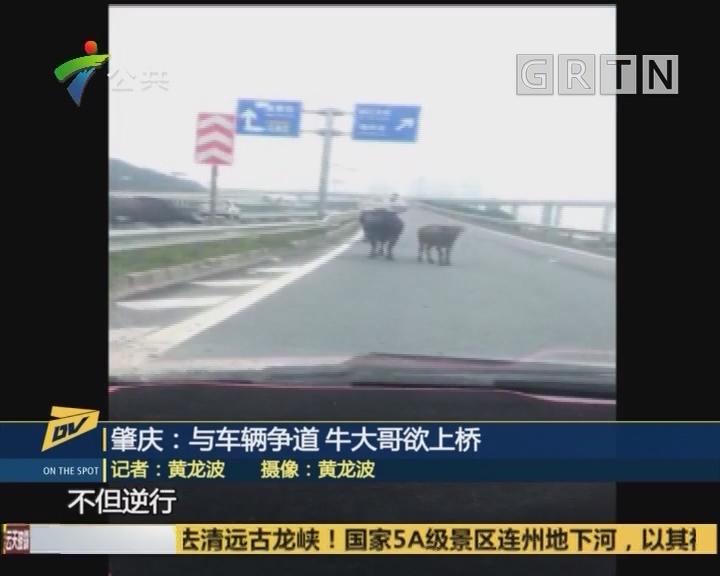 肇庆:与车辆争道 牛大哥欲上桥
