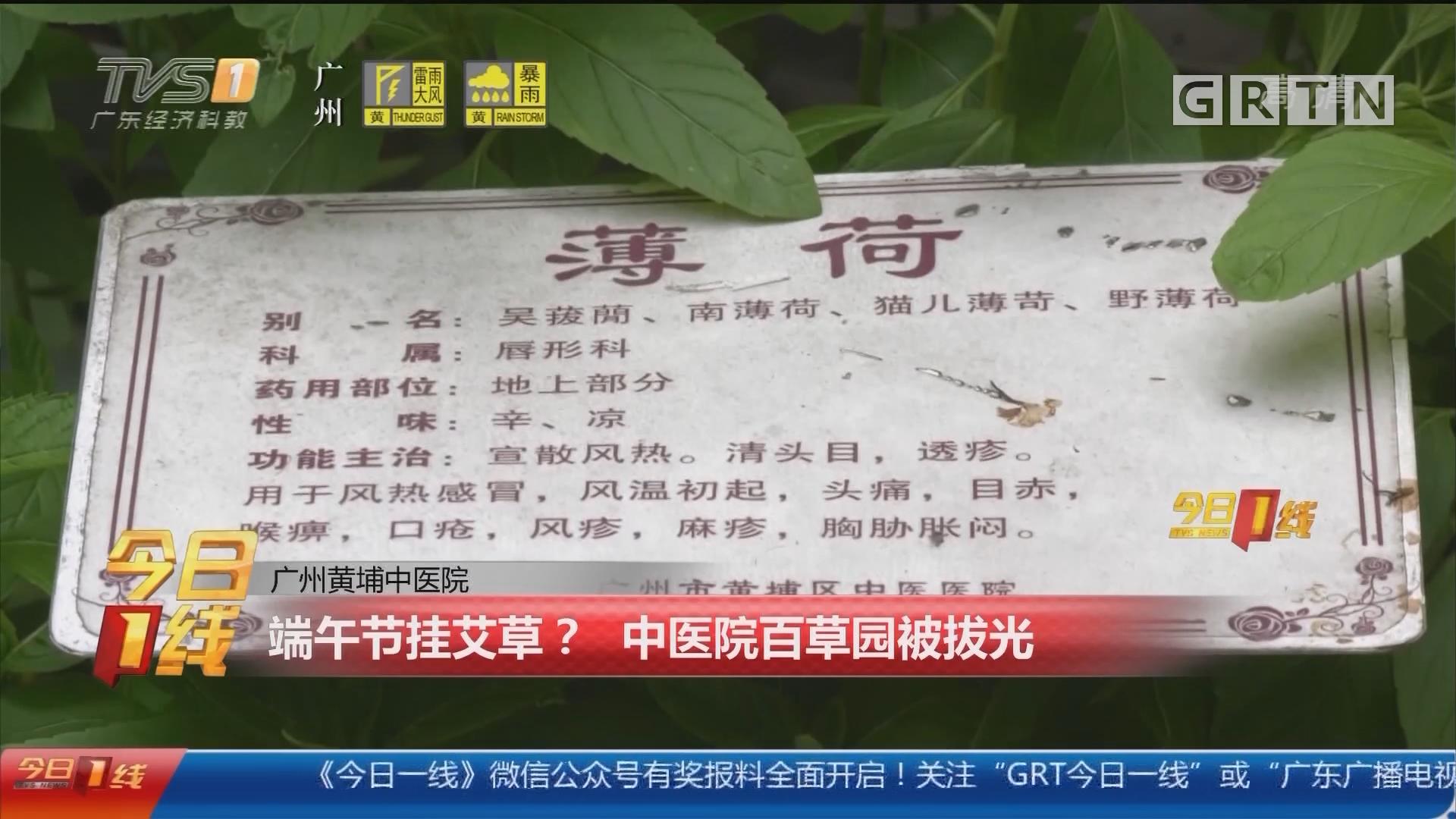 广州黄埔中医院:端午节挂艾草? 中医院百草园被拔光