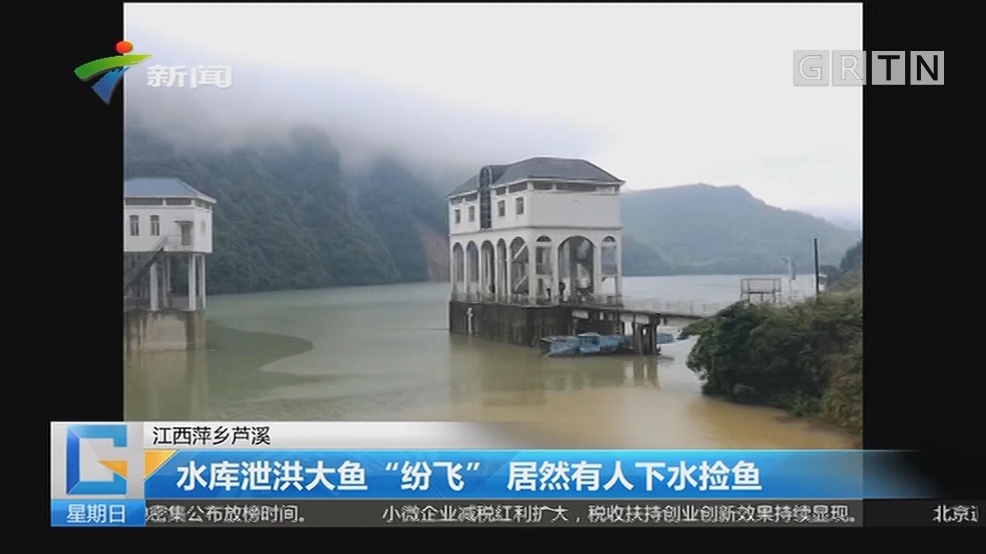 """江西萍乡芦溪:水库泄洪大鱼""""纷飞"""" 居然有人下水捡鱼"""
