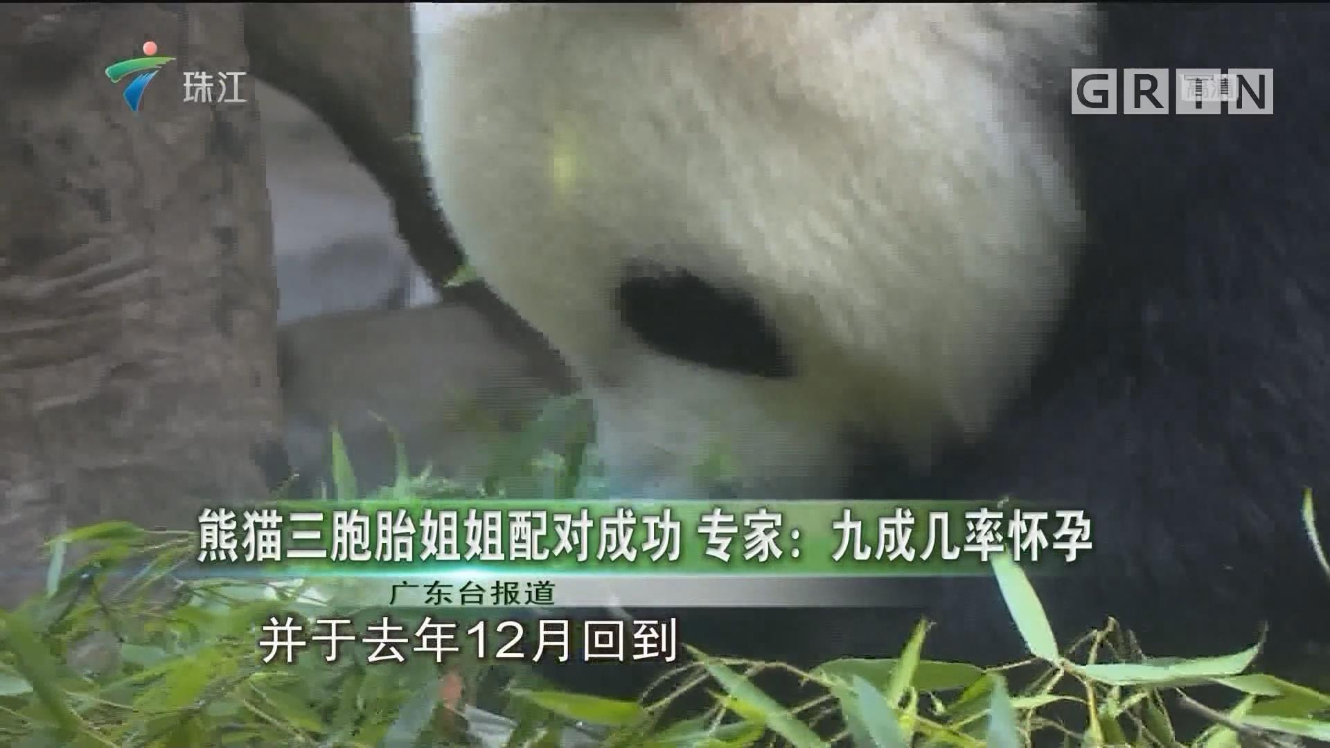 熊猫三胞胎姐姐配对成功 专家:九成几率怀孕