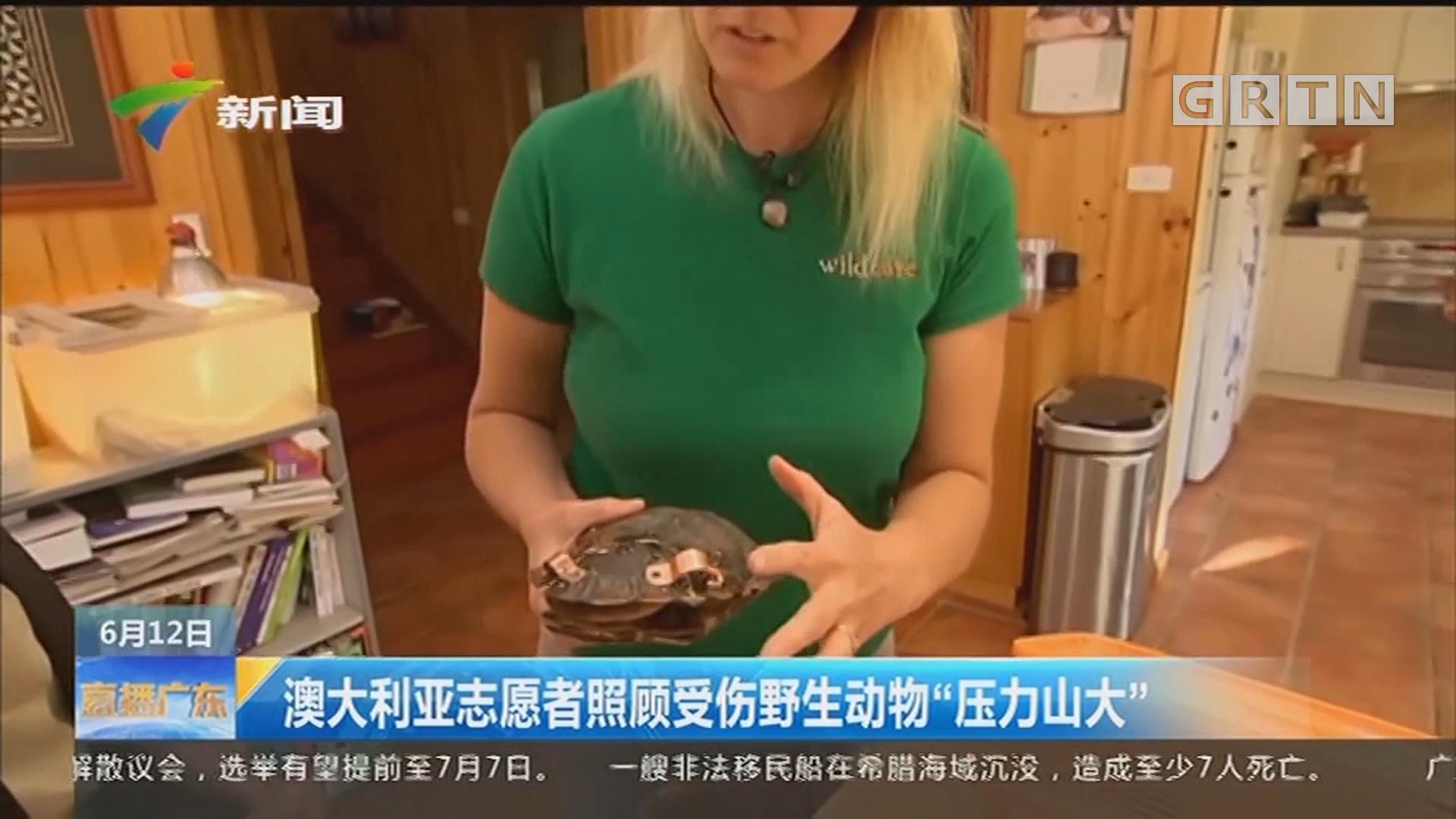 """澳大利亚志愿者照顾受伤野生动物""""压力山大"""""""