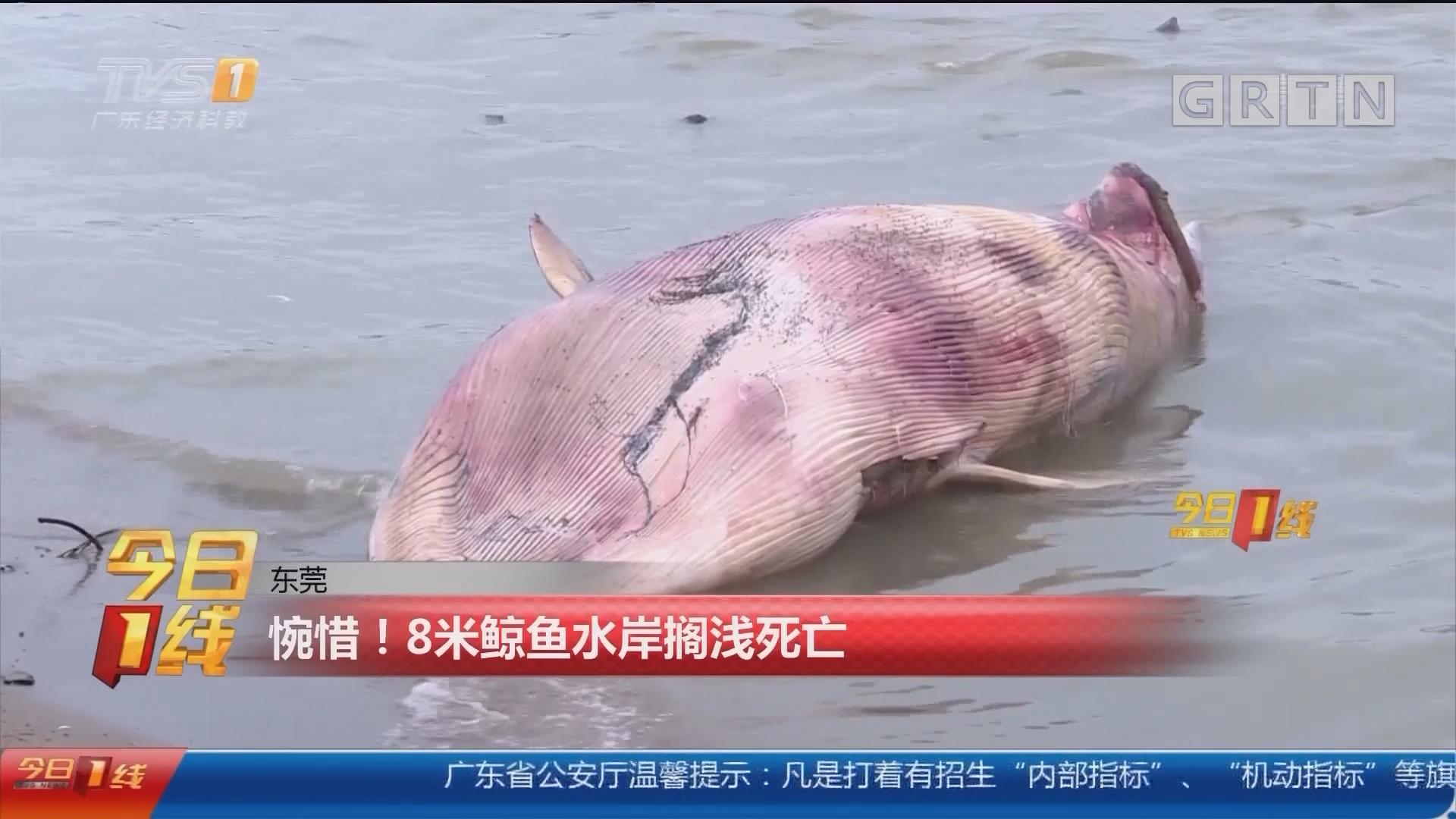 东莞:惋惜!8米鲸鱼水岸搁浅死亡
