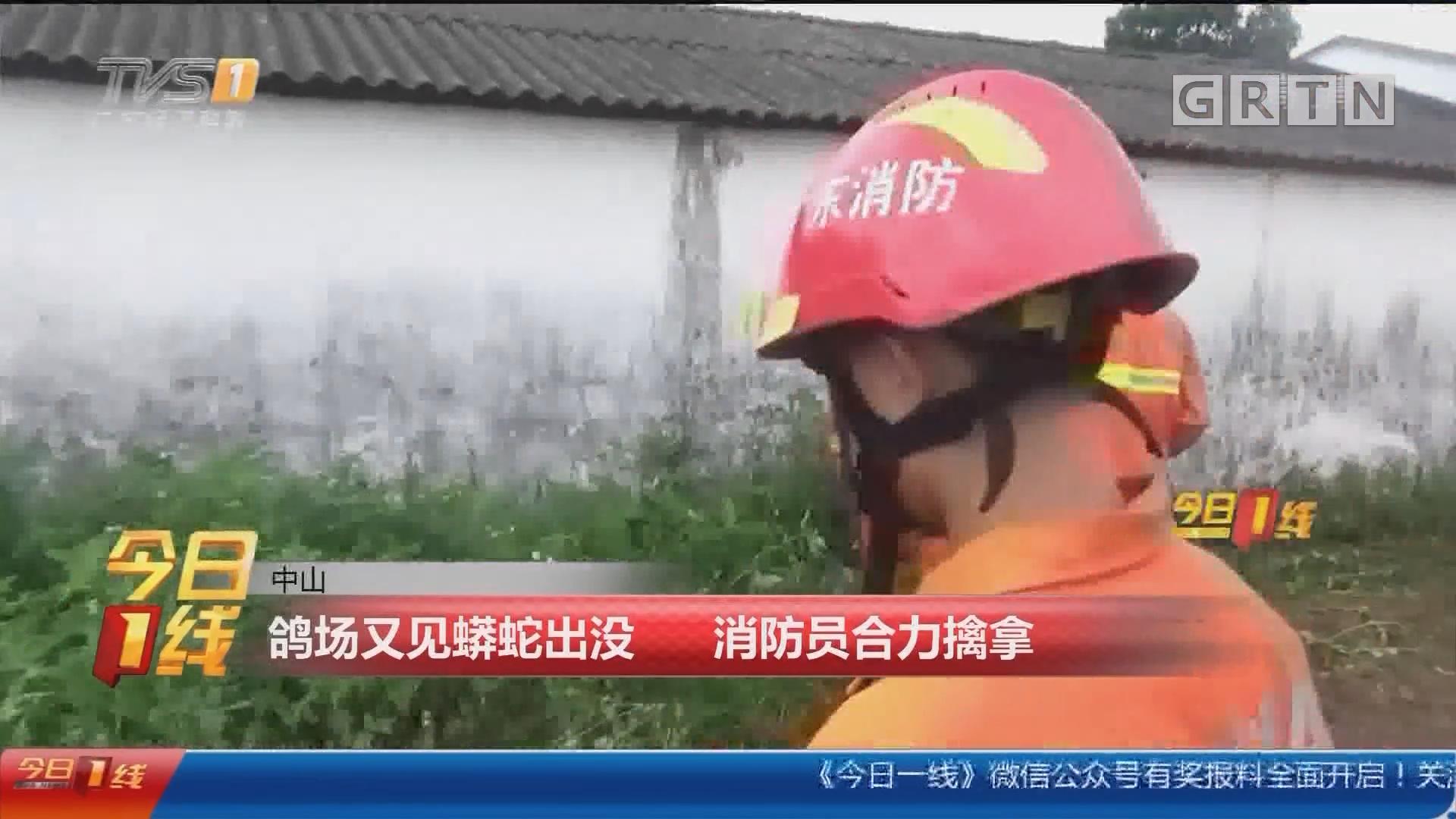 中山:鸽场又见蟒蛇出没 消防员合力擒拿