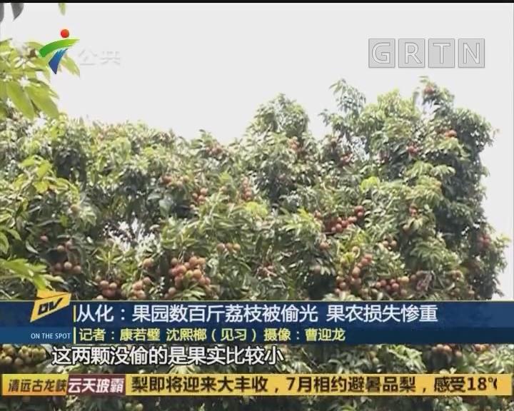 从化:果园数百斤荔枝被偷光 果农损失惨重