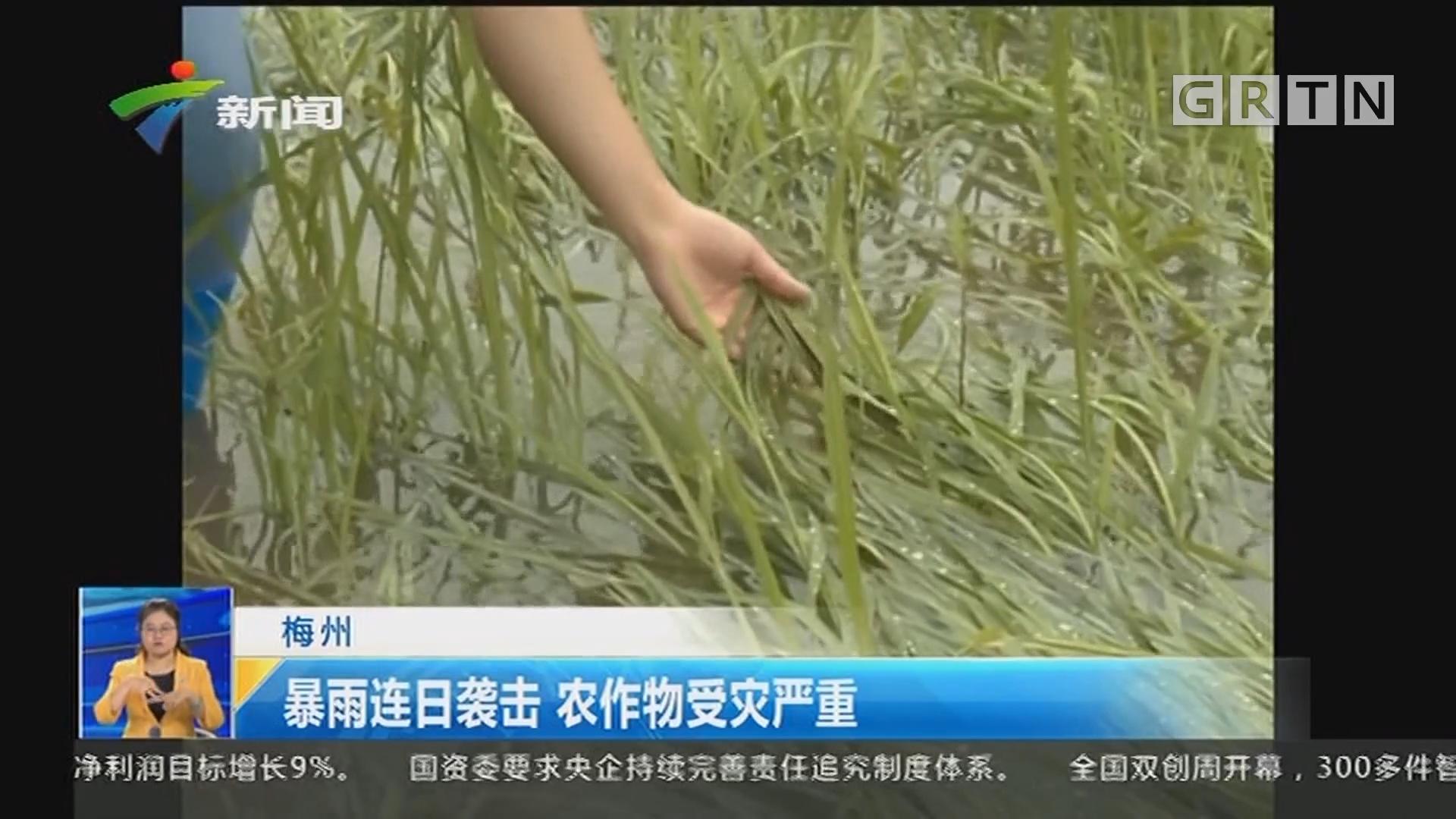 梅州:暴雨连日袭击 农作物受灾严重