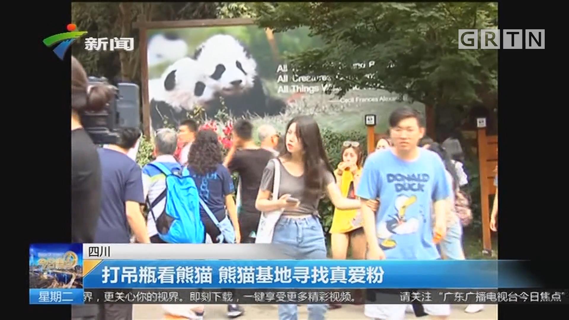 四川:打吊瓶看熊猫 熊猫基地寻找真爱粉