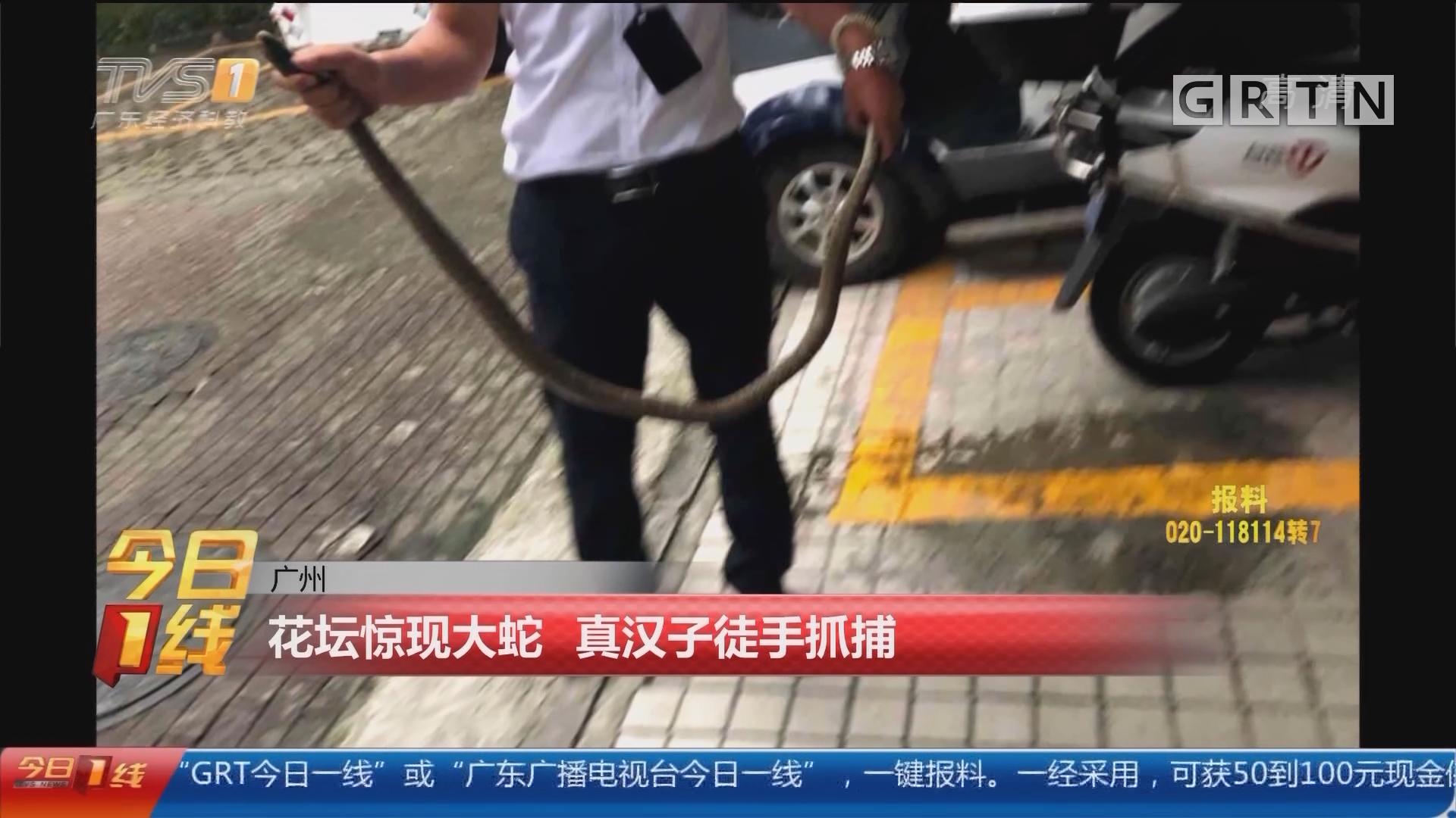 广州:花坛惊现大蛇 真汉子徒手抓捕