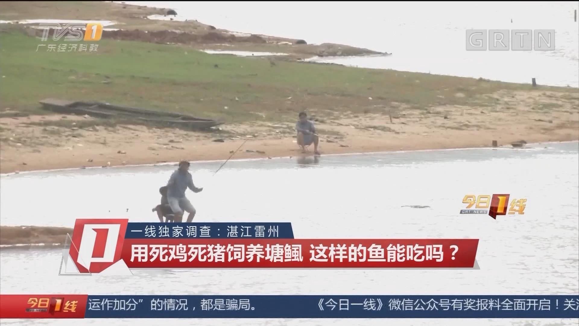 一线独家调查:湛江雷州 用死鸡死猪饲养塘鲺 这样的鱼能吃吗?