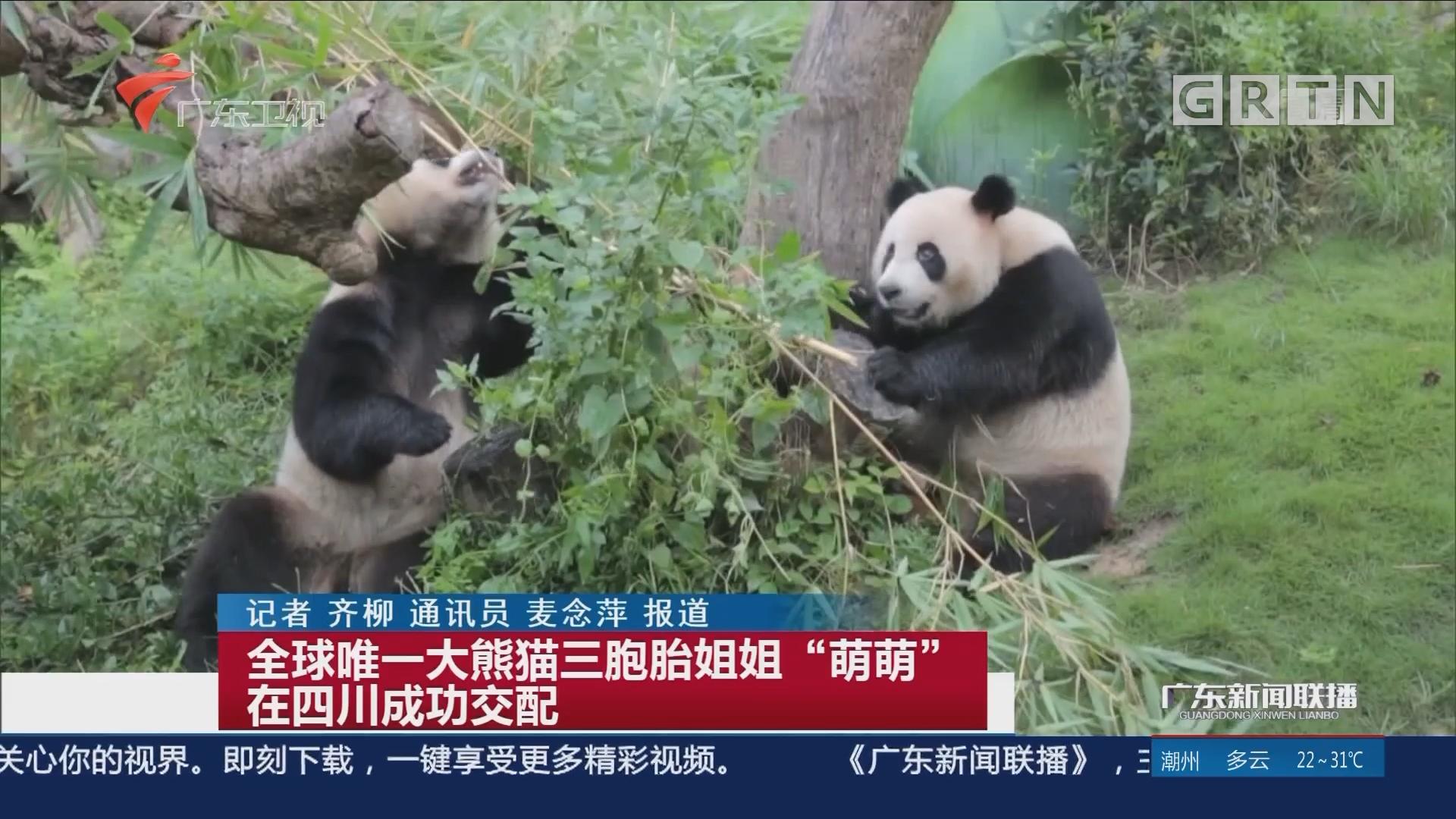 """全球唯一大熊貓三胞胎姐姐""""萌萌""""在四川成功交配"""