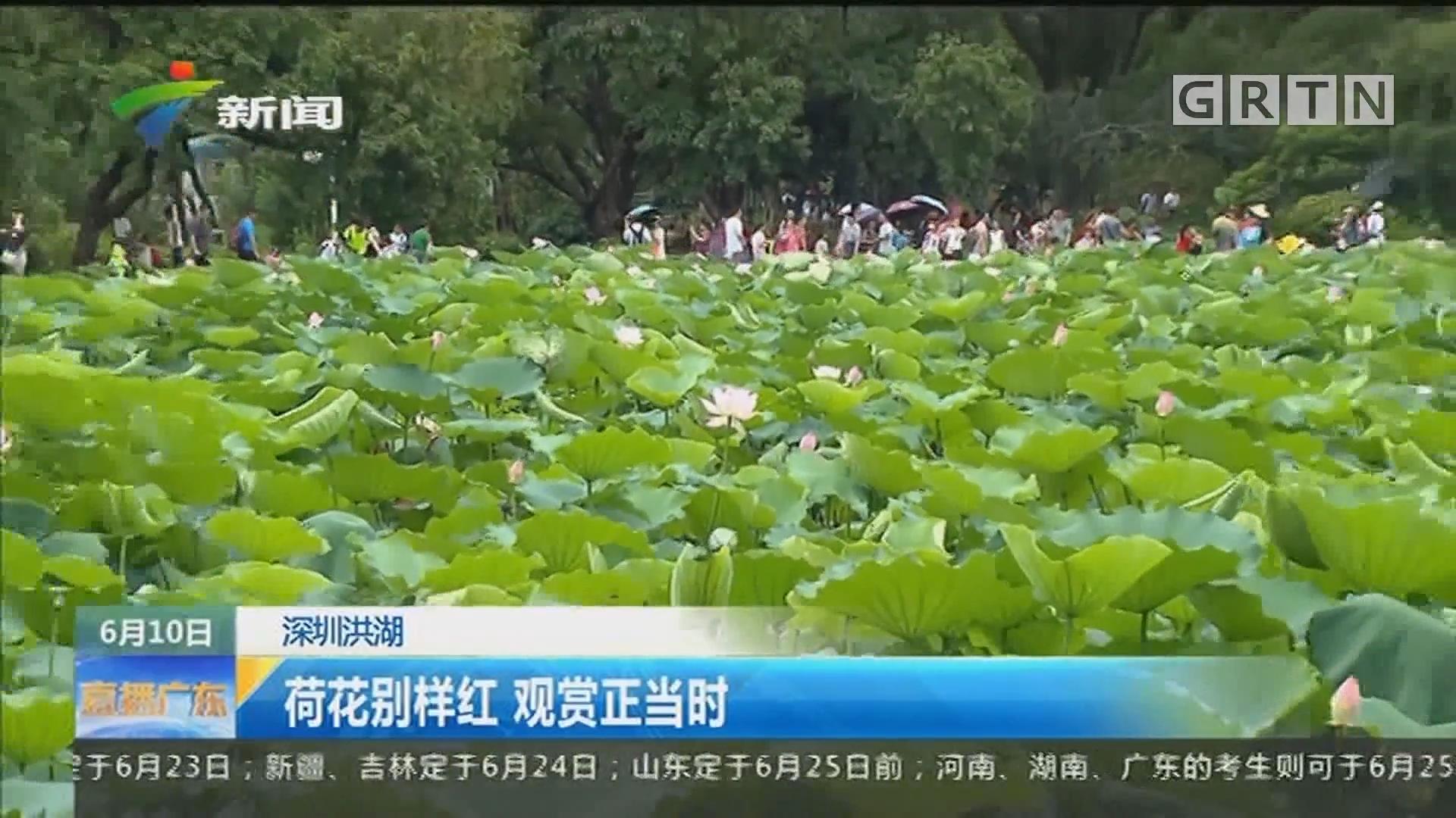 深圳洪湖:荷花别样红 观赏正当时