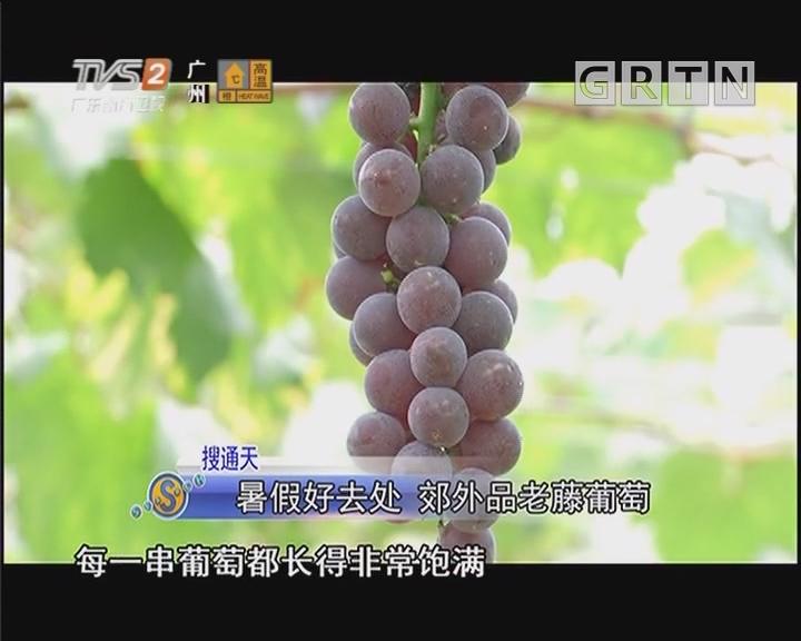 暑假好去处 郊外品老藤葡萄