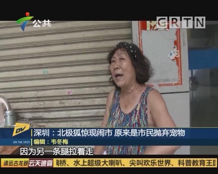 深圳:北极狐惊现闹市 原来是市民抛弃宠物