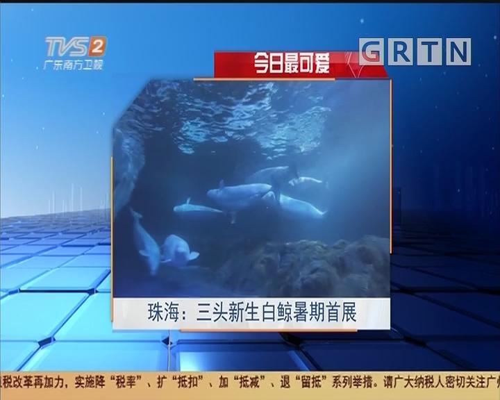 今日最可爱 珠海:三头新生白鲸暑期首展