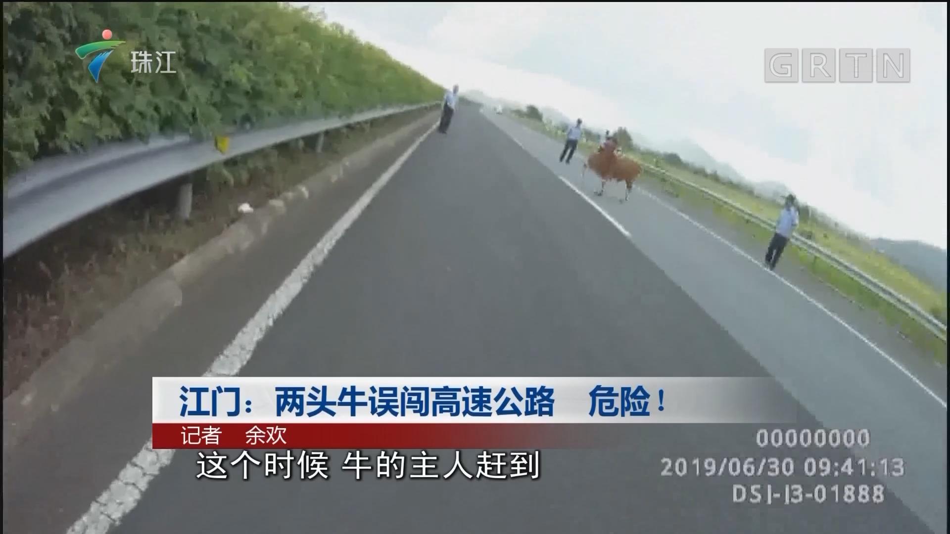 江门:两头牛误闯高速公路 危险!