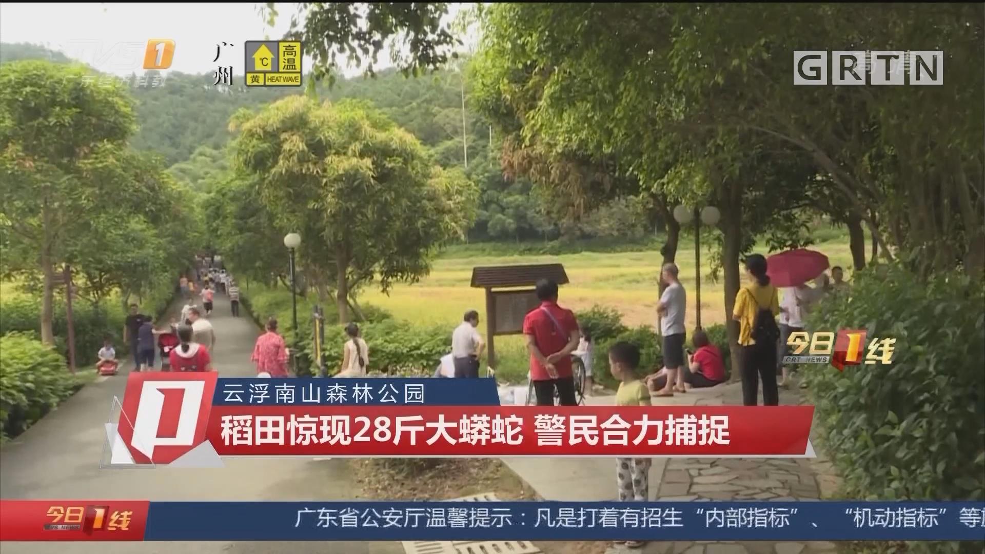 云浮南山森林公园:稻田惊现28斤大蟒蛇 警民合力捕捉