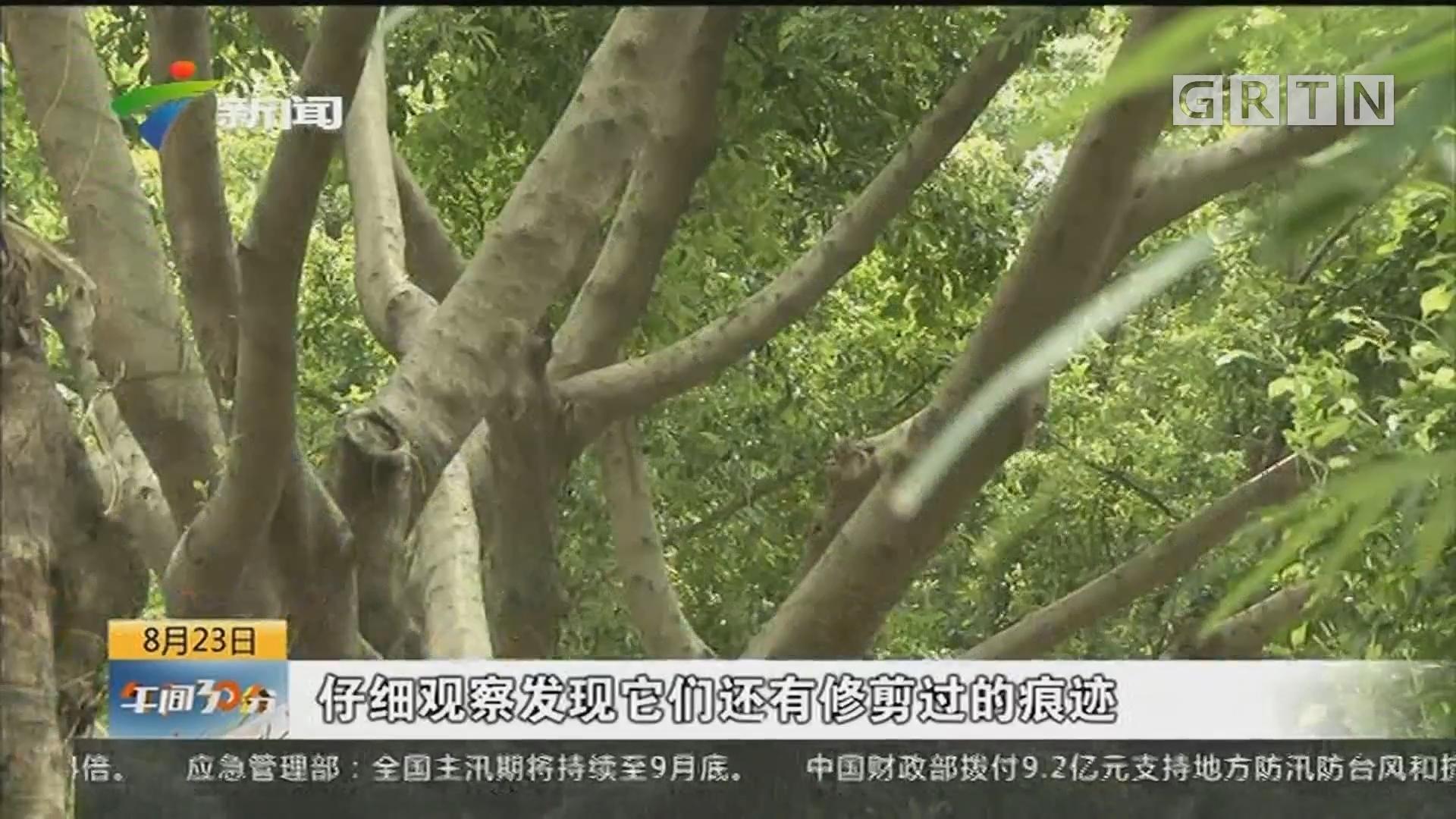 记者调查 广州:天河翰景路定期修剪树冠良好 街坊点赞