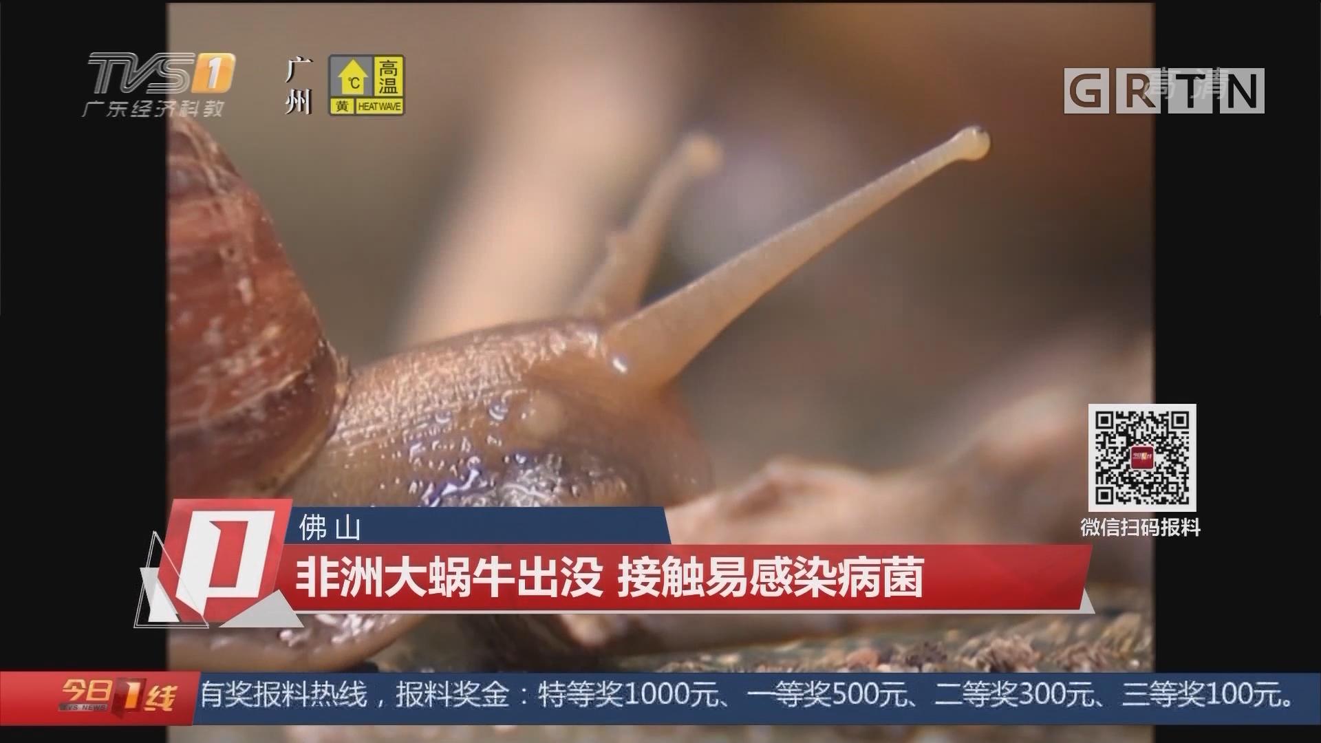 佛山:非洲大蜗牛出没 接触易感染病菌