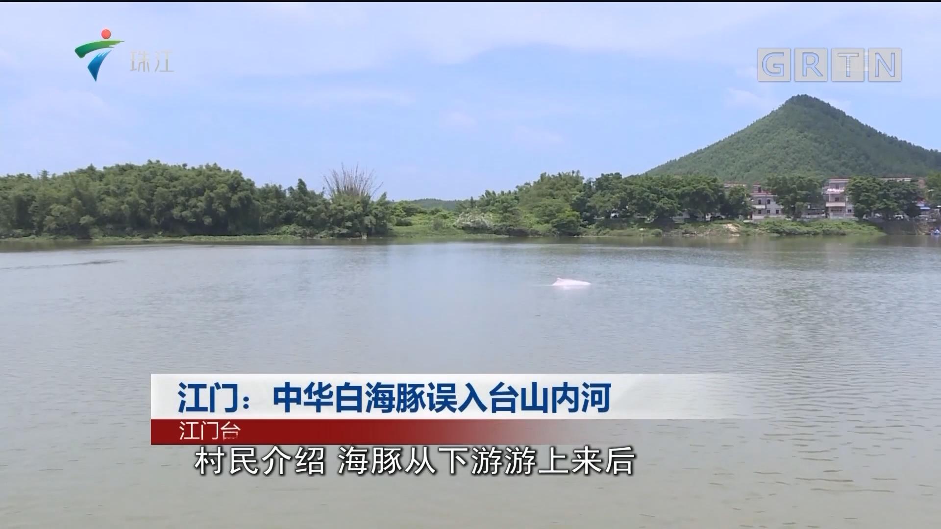 江门:中华白海豚误入台山内河