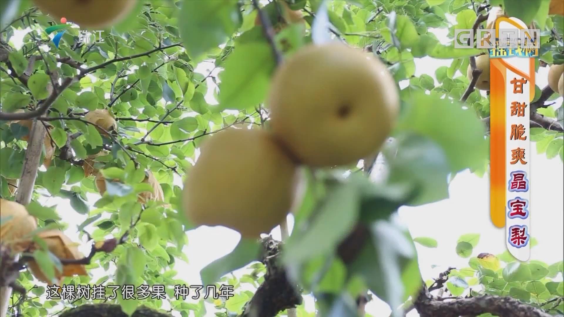 [HD][2019-08-19]摇钱树:甘甜脆爽晶宝梨