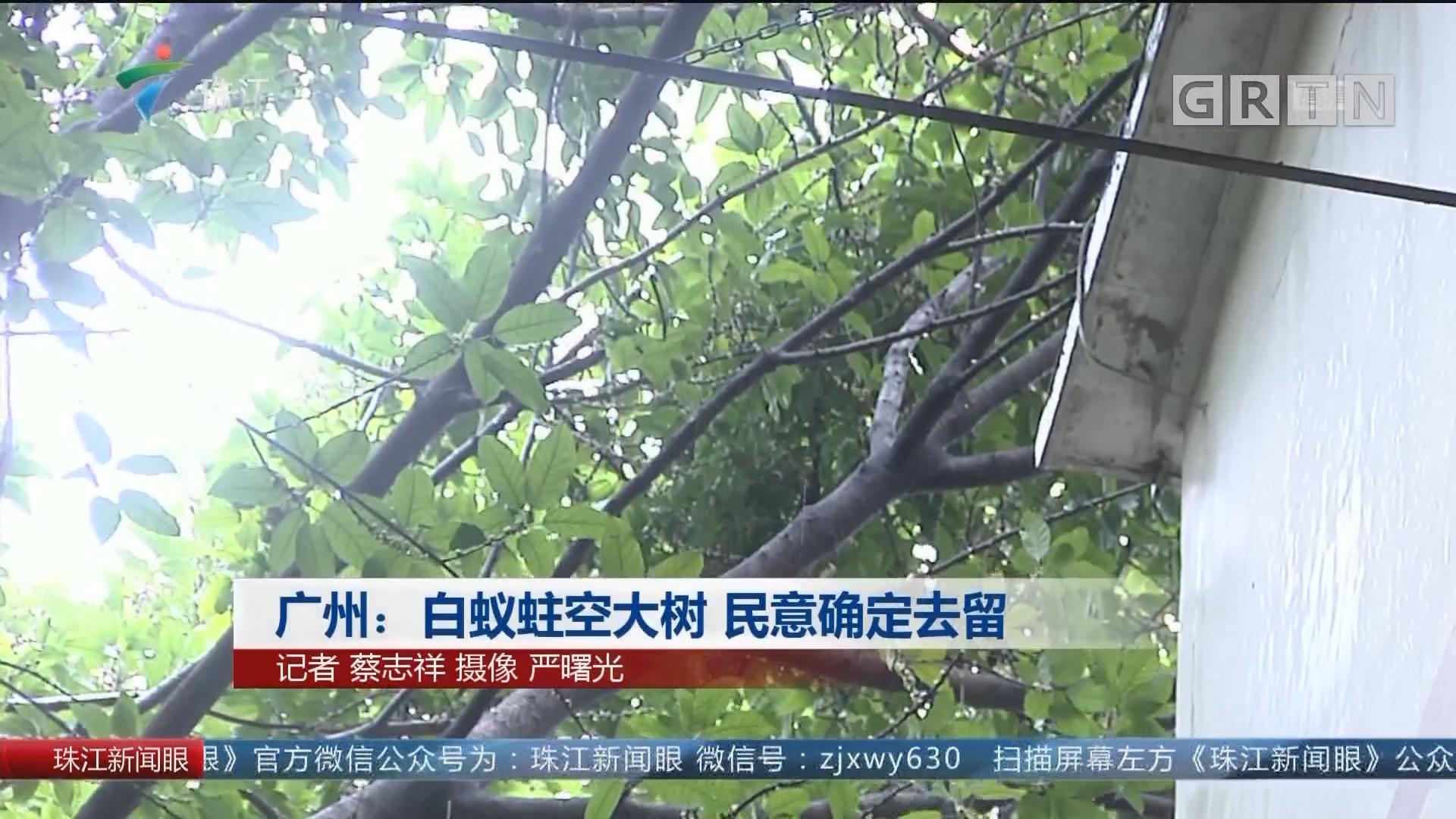 广州:白蚁蛀空大树 民意确定去留
