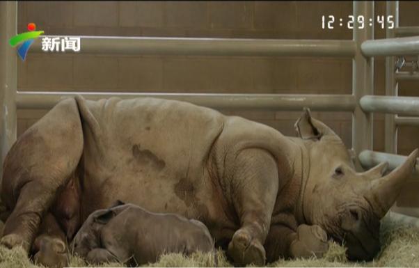 北美首例人工授精南方白犀牛宝宝降生