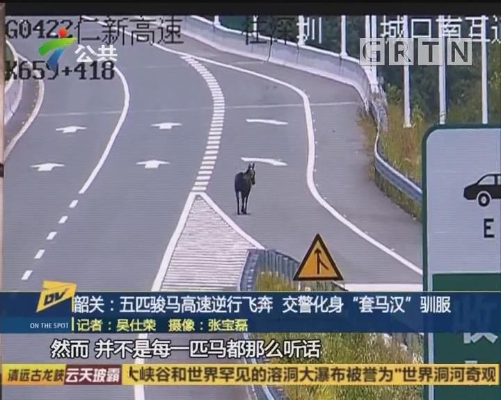 """韶关:五匹骏马高速逆行飞奔 交警化身""""套马汉""""驯服"""