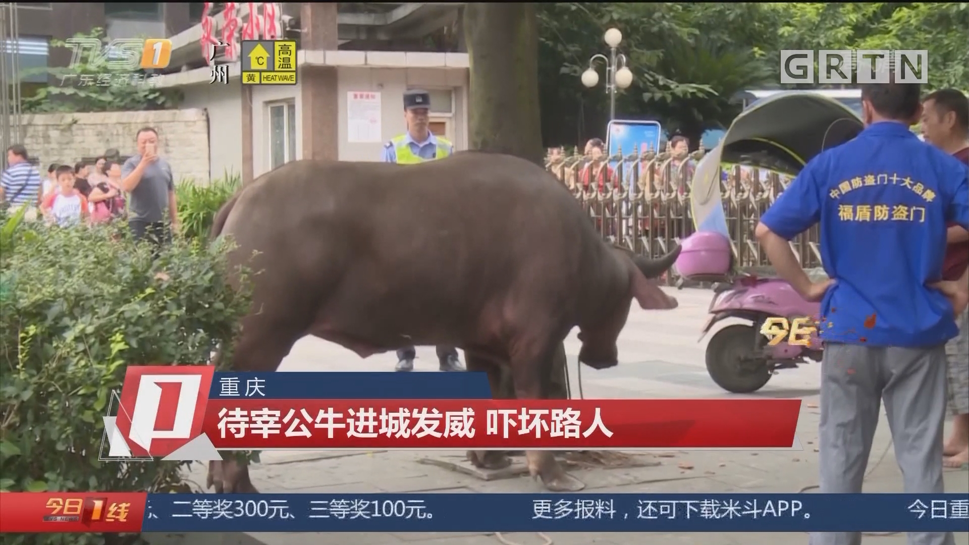 重庆:待宰公牛进城发威 吓坏路人