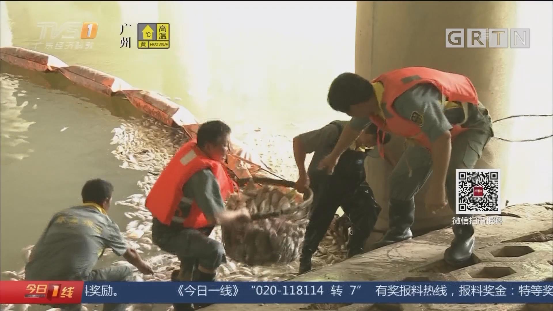 广州:黄埔乌涌现大量死鱼 职能部门介入