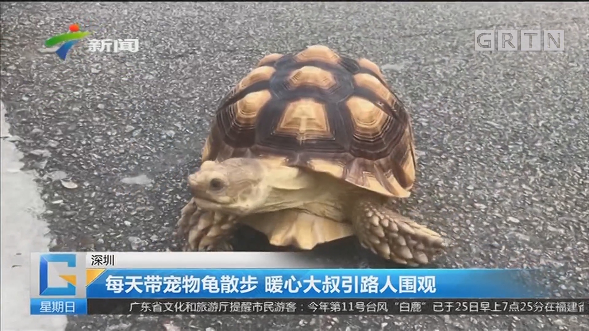 深圳:每天带宠物龟散步 暖心大叔引路人围观